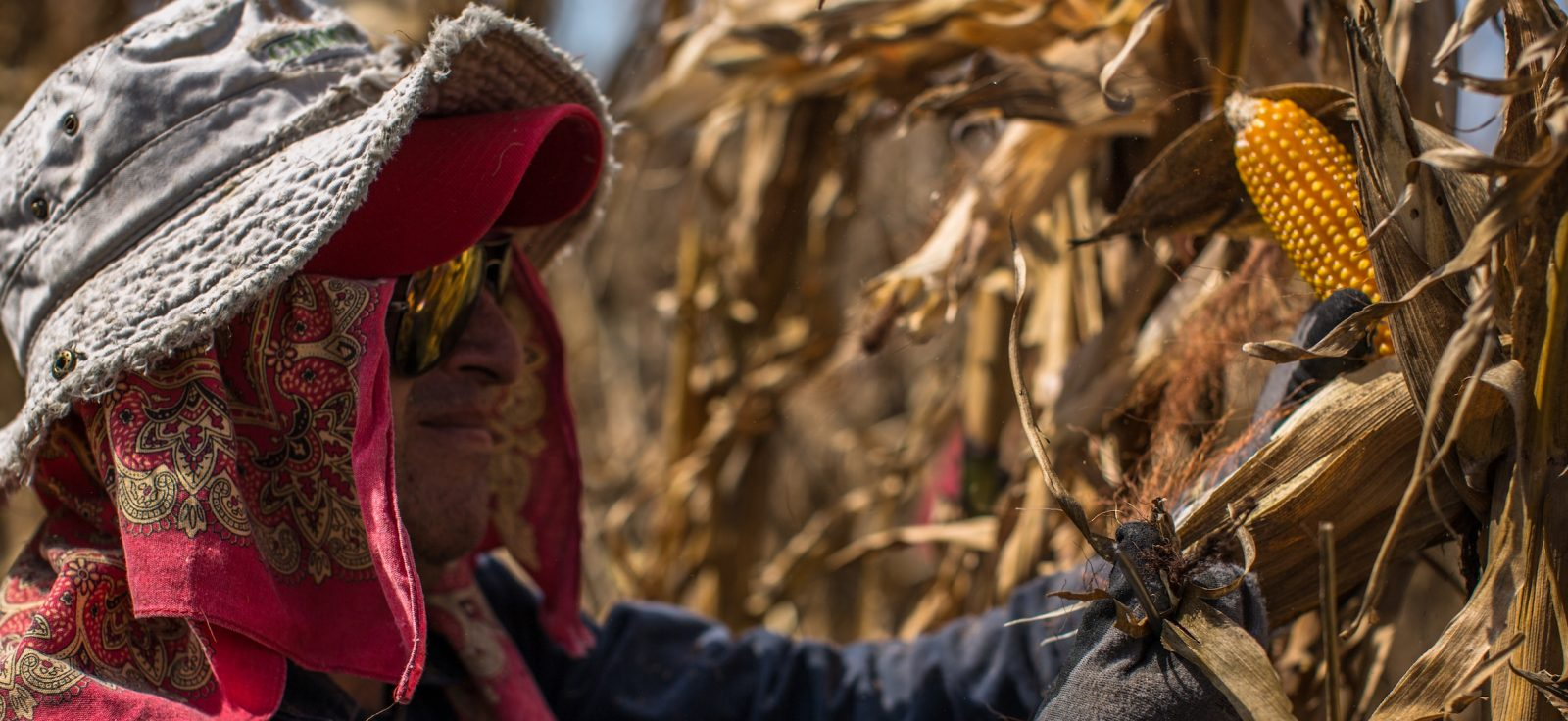 A CIMMYT worker husks an ear of maize to check the grain's ripeness in an evaluation field in Texcoco.