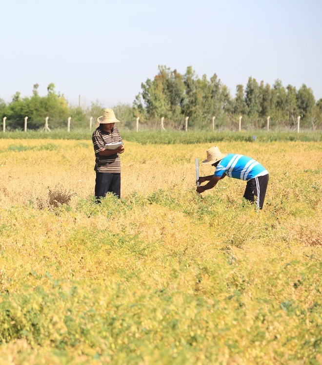ICARDA staff measure the height of chickpea accessions growing in the multiplication plots in Marchouch.