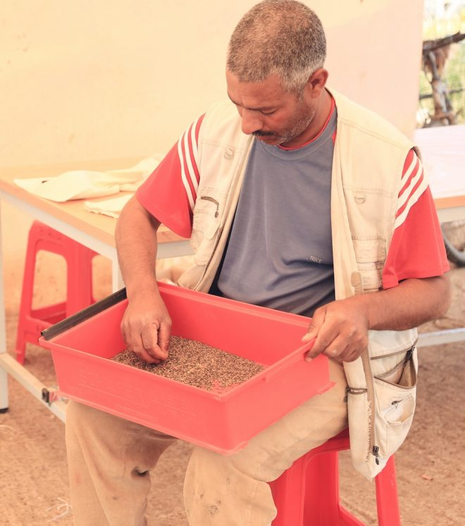 ICARDA technician sorts lentils at their station in Marchouch. Credit: Shawn Landersz