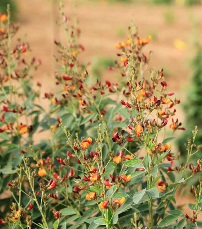 Field of Regeneration and Charactarization of Pigeon pea at ICRISAT. Picture here: Cultivated Pigeon Pea - Cajanus Cajan. Credit: Shawn Landersz