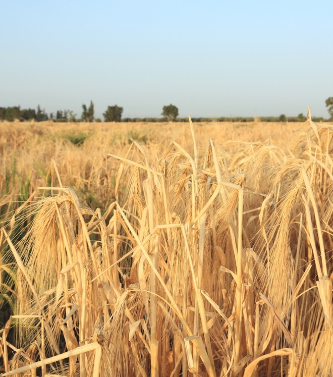 Barley accessions growing at ICARDA in Marchouch, Morocco Credit: Shawn Landersz